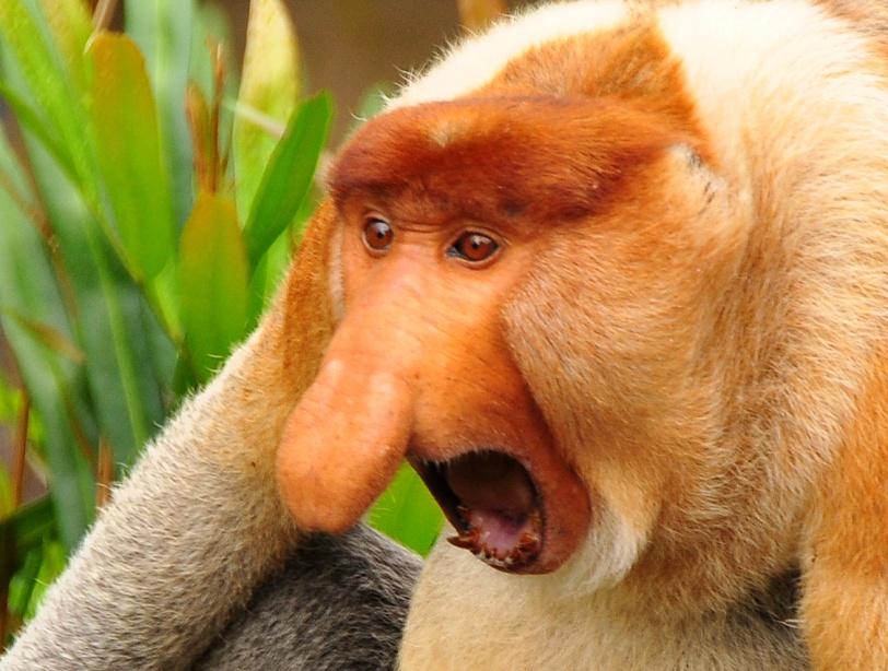 proboscis_monkey